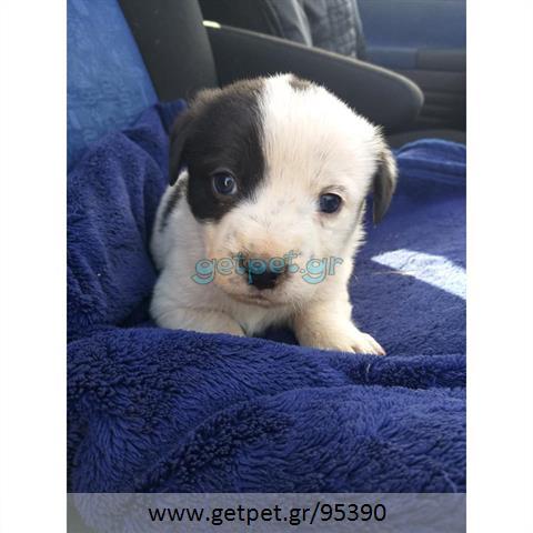Δίνεται για υιοθεσία - χαρίζεται ημίαιμος σκυλάκος Dachshund - Ντατσχάουντ - Λουκάνικο