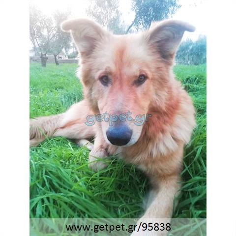 Δίνεται για υιοθεσία - χαρίζεται ημίαιμος σκυλάκος Collie - Κόλεϊ