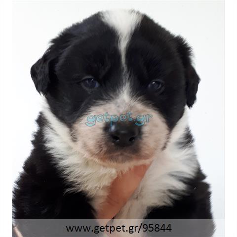 Δίνεται για υιοθεσία - χαρίζεται ημίαιμο κουτάβι Greek Sheepdog - Ελληνικός Ποιμενικός
