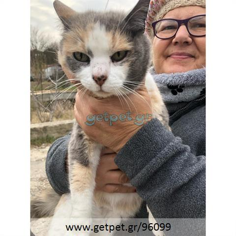 Δίνεται για υιοθεσία - χαρίζεται ημίαιμη γάτα Aegean Cat - Γάτα Αιγαίου