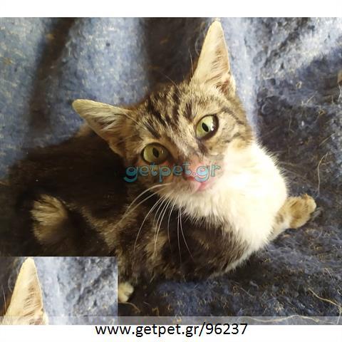 Δίνεται για υιοθεσία - χαρίζεται ημίαιμη γάτα Bengal - Βεγγάλης