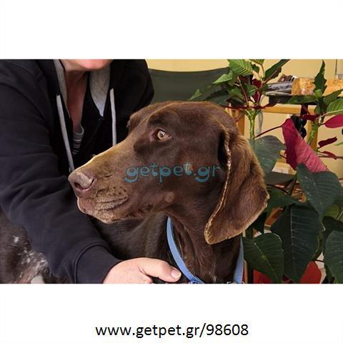 Δίνεται για υιοθεσία - χαρίζεται σκυλίτσα Kurzhaar - Κουρτσχαάρ