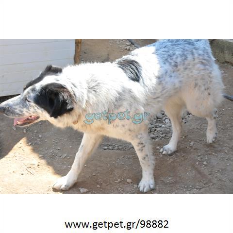 Δίνεται για υιοθεσία - χαρίζεται ημίαιμη σκυλίτσα Border Collie - Μπόρντερ Κόλεϋ