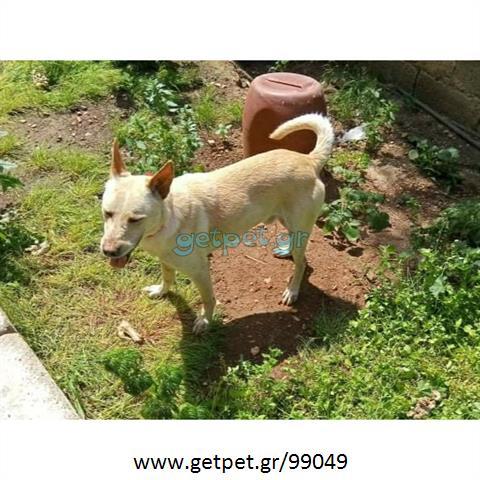 Δίνεται για υιοθεσία - χαρίζεται σκυλάκος Cretan Hound - Κρητικός Λαγωνικός