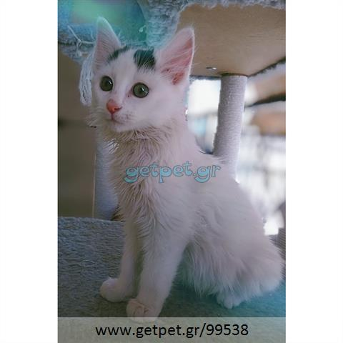 Δίνεται για υιοθεσία - χαρίζεται ημίαιμος γάτος Mainecoon - Μέιν Κουν